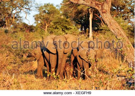 Africa, Bwa Bwata, National Park, Caprivi, Namibia, adults, african, elephants, baby, grasslands, horizontal, protective, savann - Stock Photo