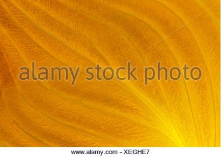 Hosta leaves in autumn (closeup) Winnipeg Manitoba Canada - Stock Photo