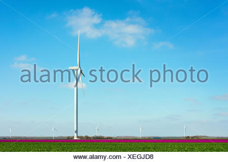 Field with magenta flower blooms and wind turbine, Zeewolde, Flevoland, Netherlands - Stock Photo