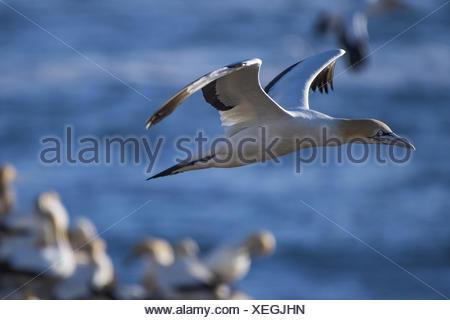 Cape gannet (Morus capensis) - Stock Photo