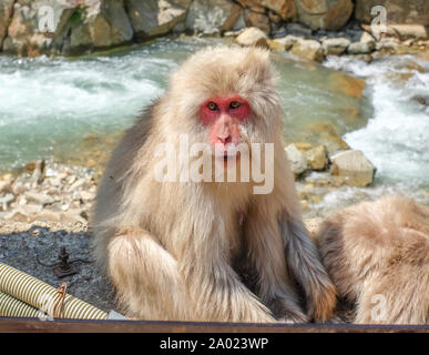 Jigokudani Monkey Park, Yamanouchi, Yudanaka, Shibu Onsen, Nagano