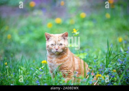 Lustige rote Kätzchen sitzt auf einem grünen Rasen im Sommer sonnigen Tag - Stockfoto
