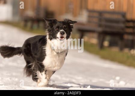 Junge süße Border Collie Hund in schneereichen Winter. Hund läuft und Spaß im Schnee - Stockfoto