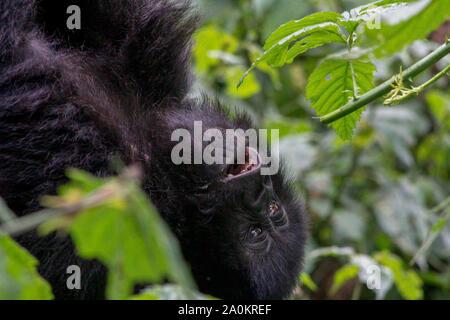 Baby Gorilla in der wilden, Volcanoes National Park, Ruanda - Stockfoto