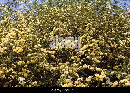 Viele gelbe Rosen Blumen, Rosa banksiae oder Lady Banken Rose Blume blühen im Sommer Garten, spring blossom Rosenbusch Filialen auf sonnigen Himmel closeup - Stockfoto