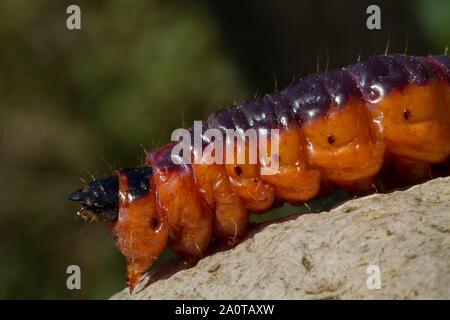 In der Nähe des großen orangy/Rot und Schwarz Caterpillar der Ziege Moth, Zingiberaceae Zingiberaceae - Stockfoto