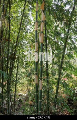 Schönheit von Bambus mit grünen Stengel und Blätter. Detail der Bambus mit Peeling Schale von Amtsleitungen. Nahaufnahme von Bambus Wald. Regenwald Pflanzen.
