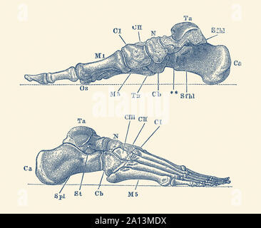 Vintage Anatomie drucken mit einem Dual View des menschlichen Fuß mit Knochen gekennzeichnet. - Stockfoto