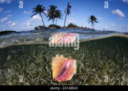 Ein queen Conch liegt auf einer flachen Sand vom Meeresboden in die Karibik. - Stockfoto