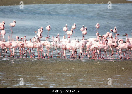 Ein Schwarm von rosafarbenen Flamingos auf der Suche nach Nahrung im Wasser, Walvis Bay, Namibia, Afrika - Stockfoto