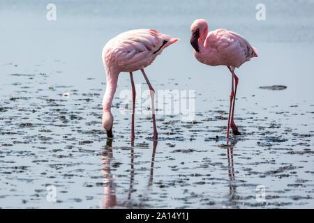 Zwei rosa Flamingos auf der Suche nach Nahrung im Wasser, Walvis Bay, Namibia, Afrika - Stockfoto