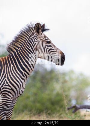 Eine sub Arten gemeinsamer Zebra aus dem Selous Game Reserve in Tansania - Stockfoto
