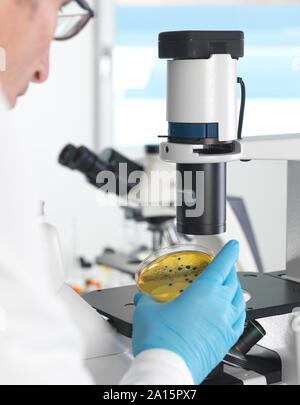 Mikrobiologie, Wissenschaftler anzeigen Kulturen wachsen in Petrischalen unter ein inverses Mikroskop im Labor - Stockfoto