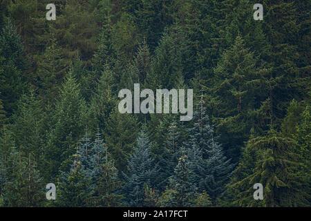 Gwydir Wald/Gwydyr Forest, ein 72,5 km alten Wälder, die die Stadt von Bettws y Coed, Clwyd, North Wales Snowdonia encirles. 1937 Gwydir war ein National Forest Park benannt, und seit 1993 das Kernland der Wald hat den besonderen Status der Forest Park zuerkannt worden - Stockfoto
