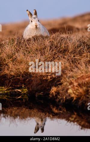 Das Porträt einer Schneehase im Winter im Heidekraut - Stockfoto