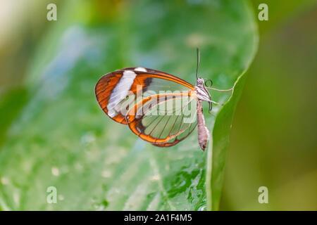 Glasswing Schmetterling (Greta Oto) ruht auf einem grünen Blatt, mit grünen Vegetation Hintergrund - Stockfoto