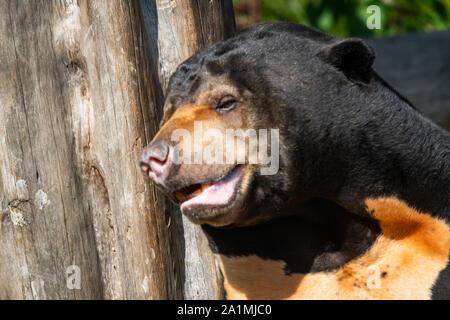 Edinburgh, Großbritannien. Mon 19 September 2019. Männliche Sun Bear im Zoo von Edinburgh, Schottland. - Stockfoto