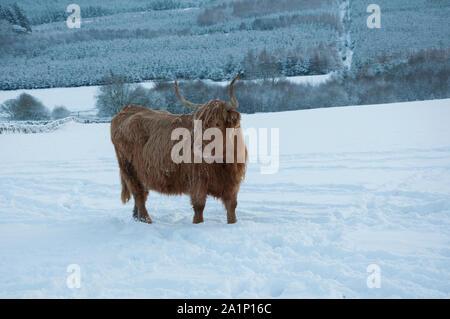 Highland Cattle (Bos taurus) im Winter, Schnee auf dem Boden, Kinharvie Tal, Dumfries und Galloway, SW Schottland