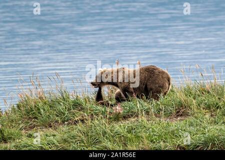 Ein Braunbär Jährling cub reicht bis seine Mutter zu berühren, wie sie auf dem Gras von naknek Lake im Katmai National Park September 16, 2019 in der Nähe von King Salmon, Alaska entspannen. Der Park erstreckt sich über die Weltgrößte Salmon Run mit fast 62 Millionen Lachse Migration durch die Ströme, die einige der größten Bären der Welt RSS-Feeds. - Stockfoto