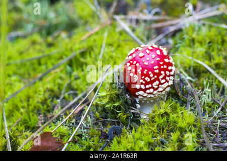Kleine rote Fly agaric wachsen im Wald. Gefahr ungenießbare giftige Pilze Stockfoto