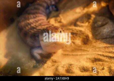 Blue-tongued skink Leben auf dem Sand in der Wüste halb Wald.