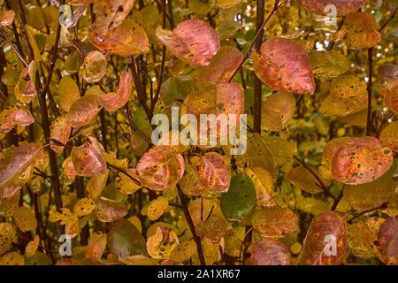 Nahaufnahme der schönen bunten rot gelb und orange Blatt nach langem Regen. Schönen Herbst - Stockfoto