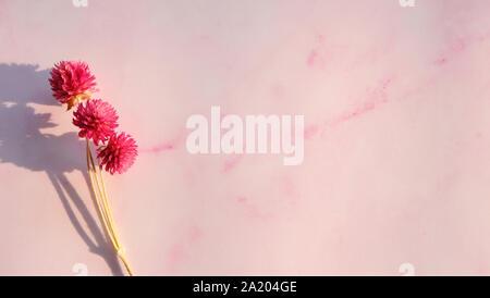 Getrocknete magenta Globus amaranth Blumen auf einem rosa Hintergrund mit leeren Raum auf der rechten Seite. - Stockfoto