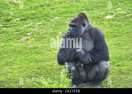 Nach Gorilla in grüne Gras - Stockfoto