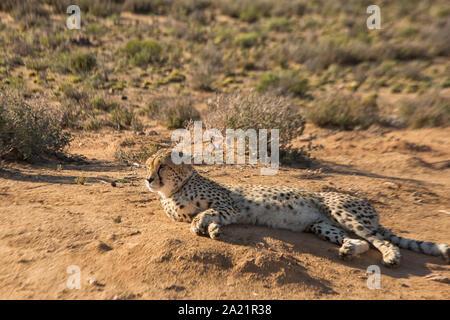 Schönen wilden Geparden Lügen entspannt - Stockfoto
