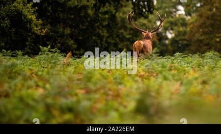 Ein großer Roter Hirsch Hirsch steht im Wald bracken während der territorialen Brunftzeit - Stockfoto
