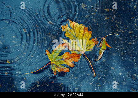 Schöne alte verdorrte zerrissen Gelb Herbst Ahorn Blätter in der Pfütze am Boden unter der Regen. Herbst wetter Saison. Konzept der Tod, Verzweiflung und traurig Stockfoto