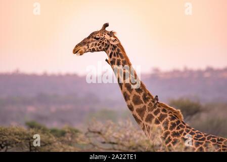 Einsame Giraffen in der Savanne der Serengeti National Park bei Sonnenuntergang. Wilde Natur von Tansania - Afrika. Safari Reiseziel. - Stockfoto