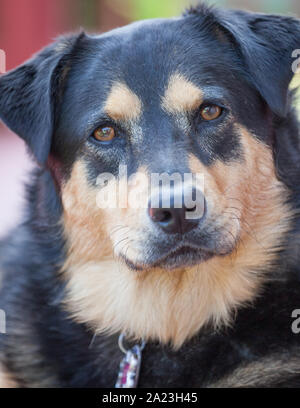 Portrait der angenommenen Rescue Dog im neuen Haus. - Stockfoto