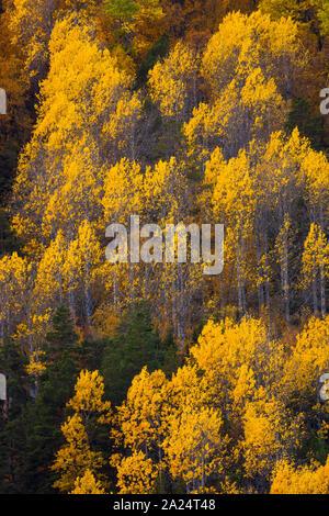 Erstaunlich Herbst bunte Laub an in Dombås Dovre Kommune, Nord-Norwegen, Norwegen. Die gelbe Bäume sind gemeinsame Aspen, Populus tremula. - Stockfoto