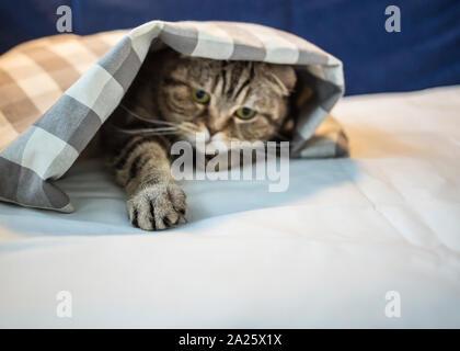 Schottische Katze hat unter dem karierten Decke versteckt und zog einen spielerisch kratzten seine Pfote, close-up - Stockfoto