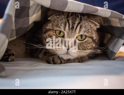 Schottische Katze hat in Angst unter der karierten Decke versteckt, close-up - Stockfoto