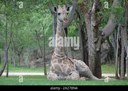 Afrikanische giraffe Festlegung auf Rasen, Simbabwe. - Stockfoto