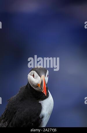 Atlantische Puffin, Island - Stockfoto