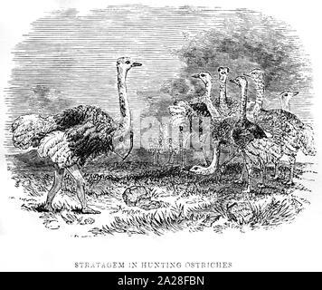 Ein Beispiel für eine verschleierte Bushman Jagd Strauß in Südafrika gescannt und in hoher Auflösung aus einem Buch von Robert Moffat im Jahre 1842 gedruckt. - Stockfoto