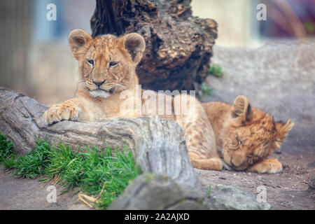 Zwei baby Lion zusammen - Stockfoto