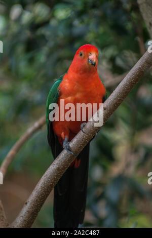 Australische grosser Papagei - Stockfoto