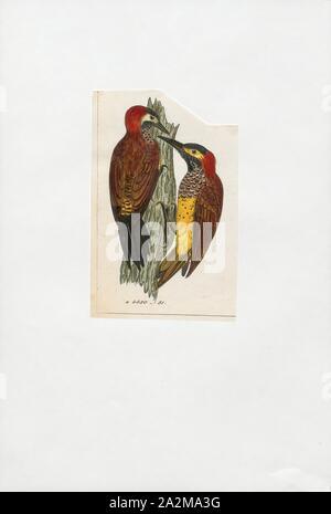 Colaptes rivolii, Drucken, den Crimson-mantled Specht (Colaptes rivolii) ist eine Vogelart in der Familie der Spechte (PICIDAE). Es war früher in der Gattung Piculus platziert, verschoben auf die Gattung Colaptes Nach der mitochondrialen DNA-Sequenzierung. Ihr wissenschaftlicher Name, rivolii, ehren Französische Ornithologe François Victor Masséna, zweiter Herzog von Rivoli und Dritten Fürsten von essling., 1820-1860 - Stockfoto