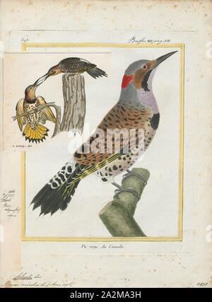 Colaptes rivolii, Drucken, den Crimson-mantled Specht (Colaptes rivolii) ist eine Vogelart in der Familie der Spechte (PICIDAE). Es war früher in der Gattung Piculus platziert, verschoben auf die Gattung Colaptes Nach der mitochondrialen DNA-Sequenzierung. Ihr wissenschaftlicher Name, rivolii, ehren Französische Ornithologe François Victor Masséna, zweiter Herzog von Rivoli und Dritten Fürsten von essling., 1700-1880 - Stockfoto