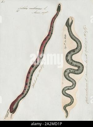 Crotalus, Sistrurus miliarius miliarius, Drucken, gemeinhin als pygmy Klapperschlange, ist eine Pflanzenart aus der Gattung der giftige Schlange in der Unterfamilie Crotalinae (bambusottern) der Familie Viperidae. Die Art ist endemisch im Südosten der Vereinigten Staaten. Drei Unterarten sind derzeit anerkannt sind, einschließlich der hier beschriebenen Unterarten nominieren., 1700-1880 - Stockfoto