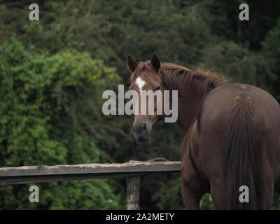 Ein braunes Pferd in ein Yorkshire Feld. - Stockfoto