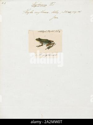 Hyla erythraea, Drucken, die Gemeinsame grünen Frosch (Hylarana Erythraea) ist ein Frosch Arten in der wahren Frosch Familie Ranidae; einige Quellen verwenden immer noch den alten Namen Rana Erythraea. Er lebt in Südostasien und ist auch als grüne paddy Frosch bekannt, red-eared Frosch oder Leaf Frog. Der Name bezieht sich jedoch allgemein für den Neotropischer baum Frösche, die die Unterfamilie Phyllomedusinae machen. Diese sind nicht eng mit H. erythraea, Zugehörigkeit zu Familie Hylidae., 1700-1880 - Stockfoto