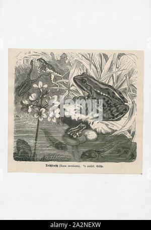 Rana esculenta, Drucken, der Wasserfrosch (Pelophylax kl. ESCULENTUS) ist ein Name für eine gemeinsame Europäische Frosch, auch bekannt als die gemeinsame Wasser Frosch oder grünen Frosch (jedoch dieser Begriff wird auch für die nordamerikanischen Arten Rana clamitans)., 1700-1880 - Stockfoto