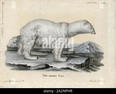 Ursus maritimus, Drucken, der Eisbär (Ursus maritimus) ist eine hypercarnivorous tragen, dessen Muttersprache Bereich liegt größtenteils innerhalb des Polarkreises, die Arktis, den umliegenden Seen und die umliegenden Landmassen. Es ist ein großer Bär, etwa die gleiche Größe wie die allesfresser Kodiak bear (Ursus arctos middendorffi). Ein Wildschwein (männlichen) wiegt ca. 350 - 700 kg (772-1, 543 lb), während eine Leistungsbeschreibung (erwachsene Frau) ist etwa halb so groß. Eisbären sind die größten Raubtiere, die derzeit in Existenz, rivalisiert nur durch die Kodiak Bären. Obwohl es die Schwester Arten der Braunbär, es - Stockfoto