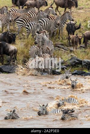 Zebras und Gnus Kreuzung Mara Fluss während der jährlichen Migration, Masai Mara, Kenia Stockfoto
