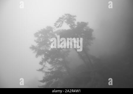 Scary horror Baum in dunklen nebligen Wald. Horror, Fantasy, geheimnisvolle Atmosphäre. Misty Landschaft, Moody. Halloween Hintergrund. Die Schwarz-Weiß-Fotografie.